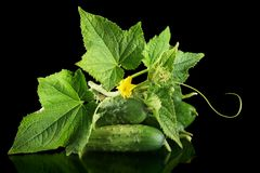 Few fresh raw gherkins with flower isolated on black Stock Images