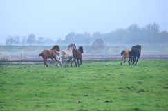 Few galloping stallions on foggy pasture Royalty Free Stock Photography
