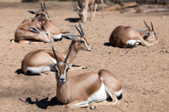 Few  gazelles on sand Royalty Free Stock Images