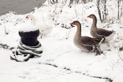 A few geese in the snow on the waterfront Royalty Free Stock Photos