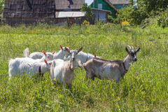Few goats on a pasture in sunny day Royalty Free Stock Photos