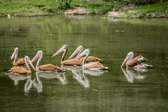 Water reflection of pelicans. A few gray pelican swim on a calm lake, so one can recognize the mirror images Stock Images