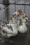 A few gray white geese in a cage for sale on the market. Same stock photography