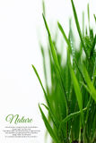 Few green blades of grass. With water droplets isolated Royalty Free Stock Photography
