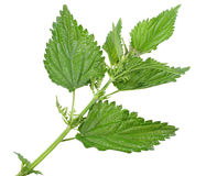 Few green leafs of nettle. Branch with a few green leafs of nettle isolated on white background. Close-up. Studio photography stock photography