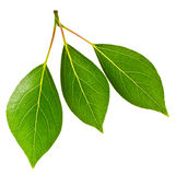 Few green leaves Royalty Free Stock Photos