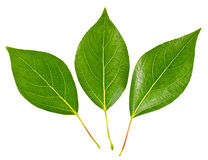 Few green leaves Royalty Free Stock Images