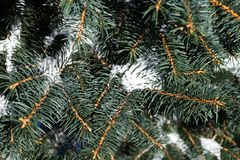 A few green tree branches in the white snow Royalty Free Stock Photo
