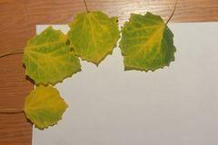 A few green with yellow autumn aspen leaves on a white backgroun stock photography