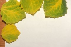 A few green with yellow autumn aspen leaves on a white background. With a wooden inset stock photography