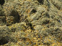 A few grey crab crawling on a rock near the waves of the sea stock images