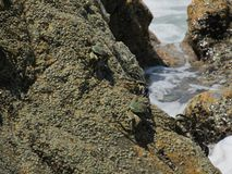 A few grey crab crawling on a rock near the waves of the sea stock photos