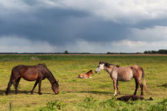 Few horses and foals on pasture Royalty Free Stock Photography