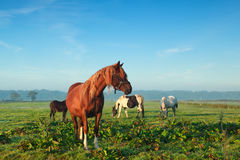 Few horses grazing on morning pasture Stock Photography