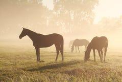 Few horses grazing om pasture during foggy sunrise Stock Photography