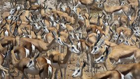 A few hundred springbok at Estosha National Park. A few hundred springbok gazelle at Estosha National Park. They were drinking at a waterhole and it is normally royalty free stock photo