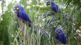 Few Hyacinth Macaws on a palm tree eat the fruits of oil palm. Rare view. high quality video. Natural sound. Brazil. Pantanal