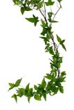 Few Ivy stems isolated over white. Few dense ivy (Hedera) stems isolated on white background. Creeper Ivy stem with young green leaves Royalty Free Stock Image