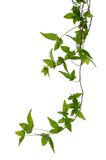 Few Ivy stems isolated over white. royalty free stock photography
