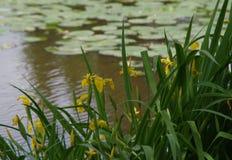 Few kwitnie żółtych irysy stawem zdjęcie stock
