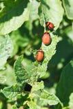 Few larva of colorado potato beetle Royalty Free Stock Photos