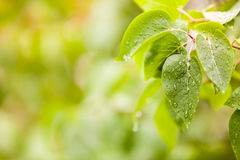 Few leaves with raindrops Stock Image