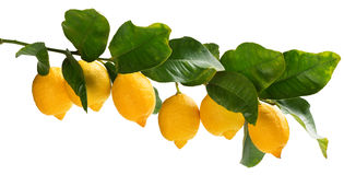 A few lemons on the branch. Stock Images
