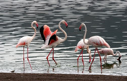 Few Lesser Flamingos royalty free stock image