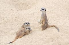 Few ?liczni i pi?kni meerkats siedz? w piasku obraz stock
