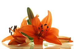 Few lilies with reflection Stock Photos