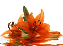 Few Lilies With Reflection Royalty Free Stock Photo