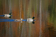Mallards Fall Swim. Three Mallards swimming across a pond which is reflective of the fall foliage Stock Photos
