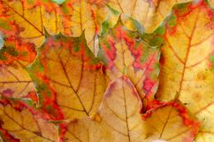 Few maple autumn leaves on the ground background. Top view. royalty free stock photos