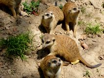 Few Meerkats looking up Stock Photos