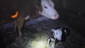 A few minutes after birth mother cow licking young infant clean baby cow cattle. 1920x1080 stock video footage