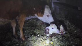A few minutes after birth mother cow licking young infant vigorously clean baby cow cattle. 1920x1080 stock video footage
