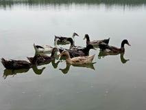 Few niewinnie małe kaczki cieszy się spokojnego wieczór z ich ukochanym i rodziną ones Obraz Royalty Free