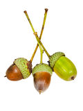 Few oak acorns Royalty Free Stock Images