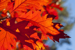 A few oak leaves illuminated by sunlight. Royalty Free Stock Images