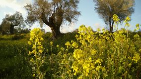 A few olive trees and yellow flowers in the foreground warm winter in Cyprus. Ancient Olive Trees, a collection of landscapes in an old olive garden in winter stock video footage