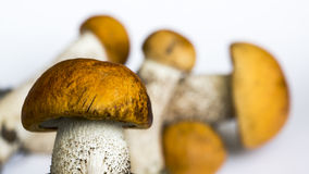 Few orange cap boletus Stock Photos