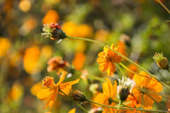 A few Orange Cosmos flowers. Standing out from the blurred flower bush background stock image