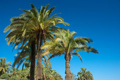 A few palm trees. Against the blue sky Stock Photos