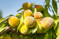 A few peaches on a branch. Royalty Free Stock Photography