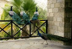 Few peacocks near building Royalty Free Stock Photo