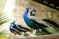 Few peacocks near building Royalty Free Stock Photography