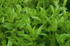 Few peppermint bushes. Green peppermint bushes, glossy leaves Stock Image