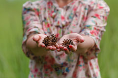 Few pine cones in woman hands, closeup Stock Photography