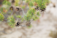 Few pinecone hang on full on needles Royalty Free Stock Images