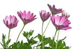 Few pink arctotis flowers Royalty Free Stock Image
